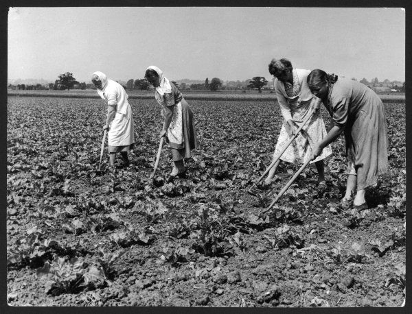 Women workers hoeing sugar beet on a farm in Essex, England