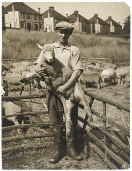 A farm worker demonstrates the correct way to hold a sheep before placing it in the dip
