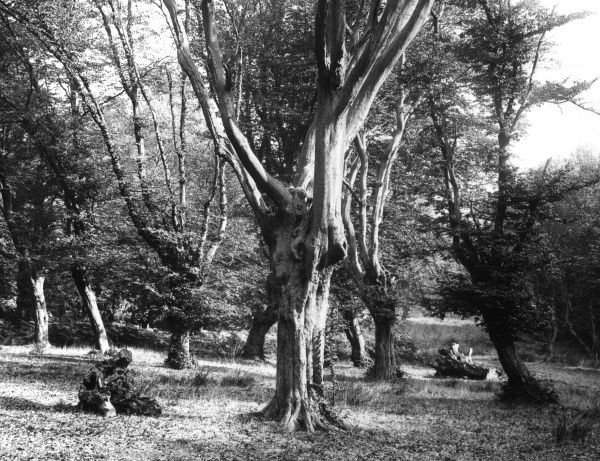 Hornbeams, of which Epping Firest, Essex, England, has so many fine examples. Date: 1930s