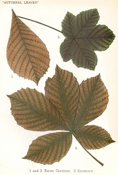 Horse chestnut and sycamore tree leaves Date: 1885