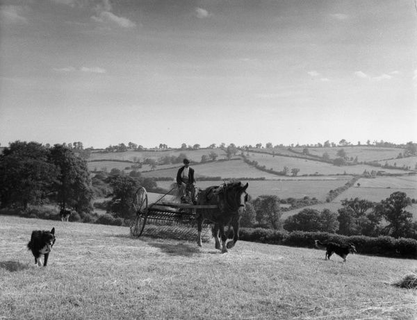 Haymaking with a horse-drawn hay rake on a farm in Northamptonshire, England. Date: early 1960s