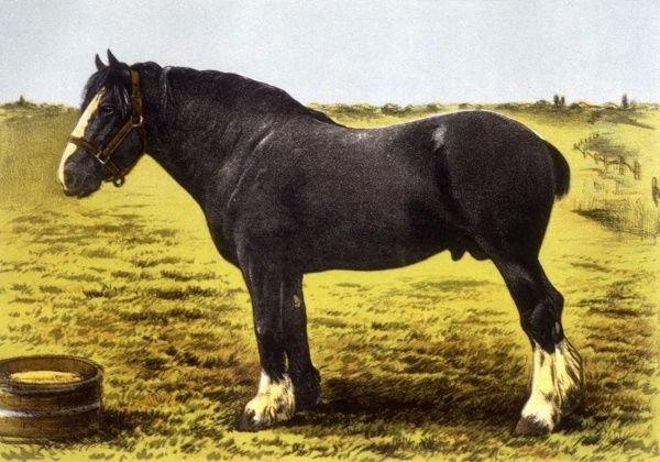 Grand National, a Clydesdale stallion. Date: 1899