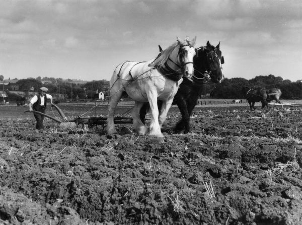 Pair-horse single furrow ploughing in the autumn, on a farm in Essex, England