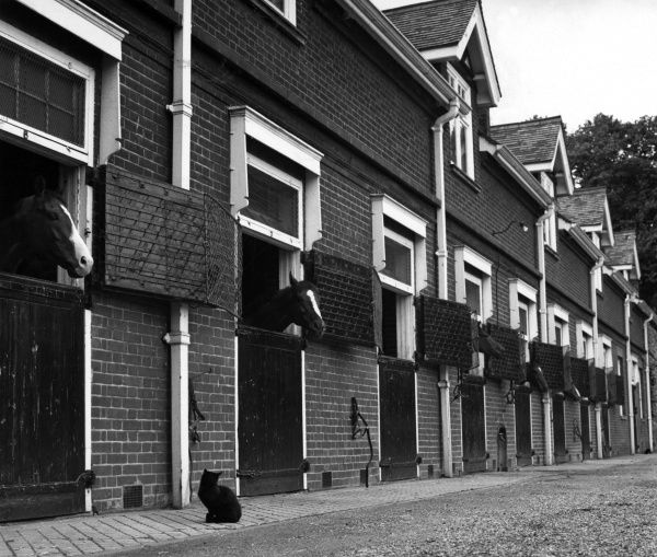 A black cat stands in front of a row of horse stables, chatting to the horses. whose heads are poking out of each stable door! Date: 1960s