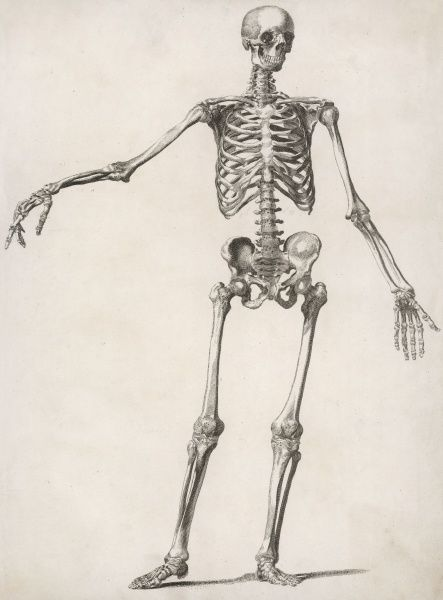 A human skeleton, standing, with one arm held outwards