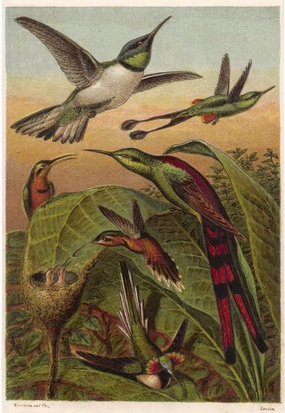 (Trochilidae) Humming birds are found only in tropical regions of the Americas