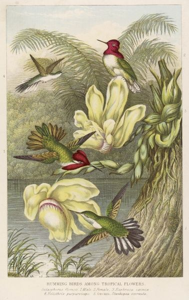 (Trochilidae) Birds of this species depicted among tropical flora