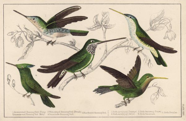 (Trochilidae) Five kinds of humming bird