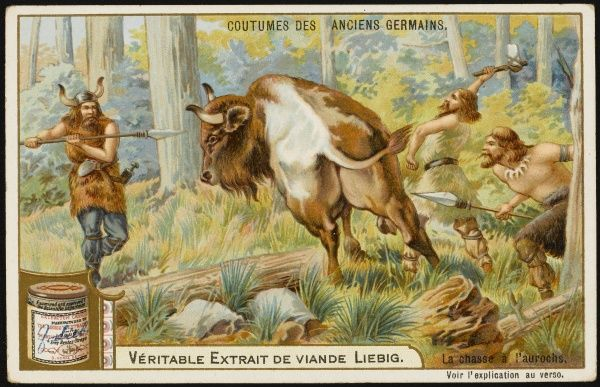 Ancient Germans hunt the AUROCHS (bos primigenius) thought to be the ancestor of modern cattle
