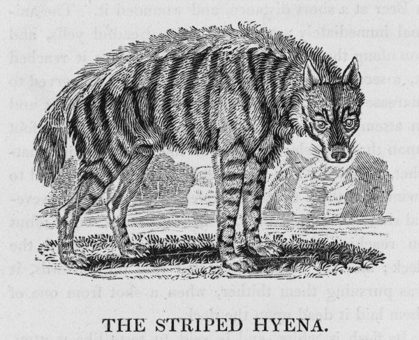 canis hyaena THE STRIPED HYENA 'Its eyes are remarkably wild, sullen and ferocious&#39