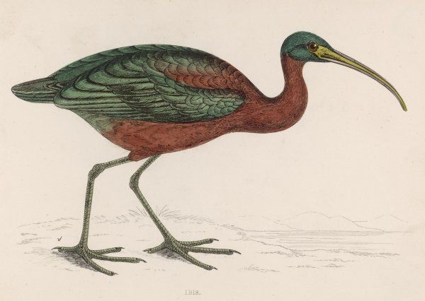 Side view of an ibis with green and red feathers