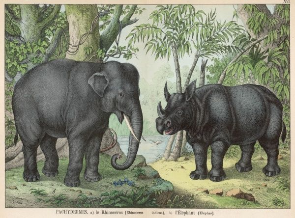 An Indian Elephant and a Rhinoceros