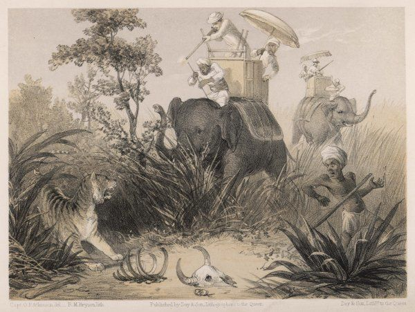 British in India shooting a tiger from elephants : their native guide hopes their shooting is effective
