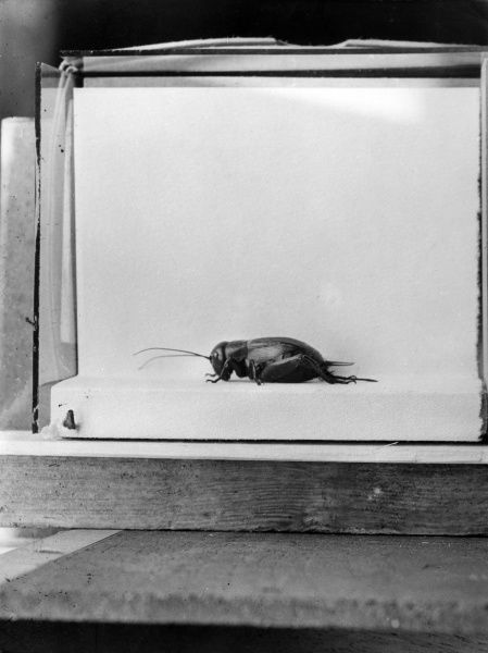 A Field Cricket in a cage for photographing. Date: 1960s
