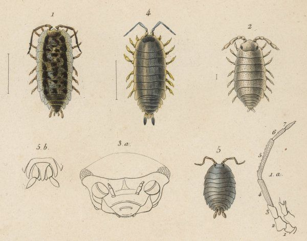various kinds of louse