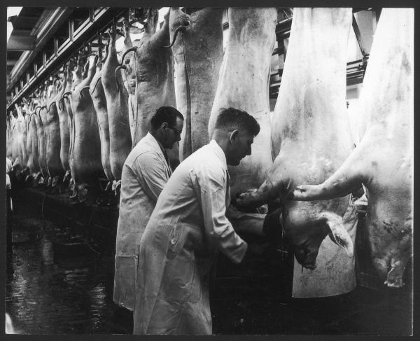 Local Government inspectors examining the carcasses of pigs