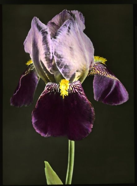 Iris Bruno (Tall Bearded Iris), a flowering perennial of the Iridaceae family, with gold, purple and brown colouring. A close-up of the head in full flower