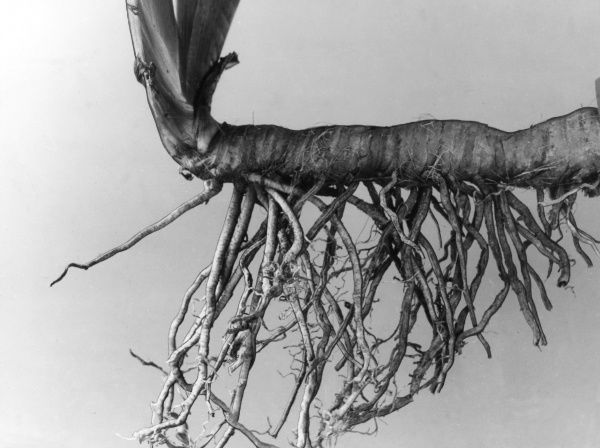 Rhizome and roots of the German Iris (Iris Germanica). Date: 1950s