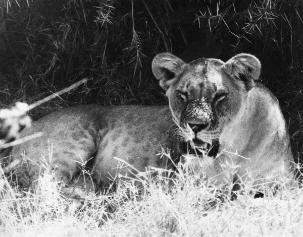 A lioness growls at the flies on her nose! Date: 1960s