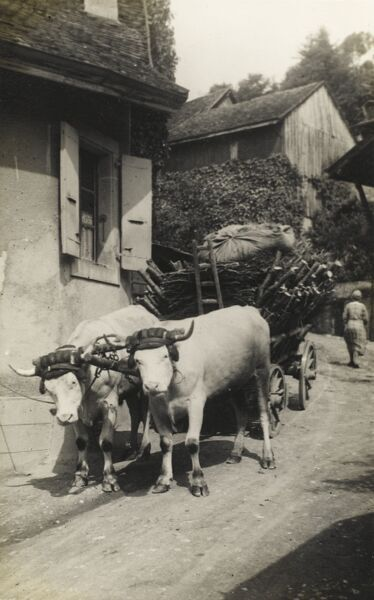 An Ox wagon heading along a steeply-descending lane through an Italian village, transporting a large load of wood