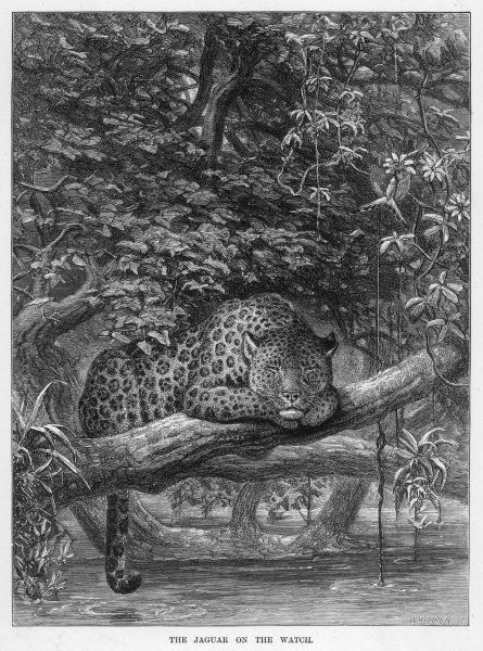 (panthera onca) The jaguar is the only 'big cat' resident in the Americas