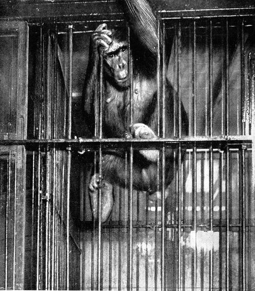 Photograph of Johanna, then known as the 'only living giantess gorilla', who was part of Barnum and Bailey's three ring circus 'The Greatest Show on Earth', in her cage, 1897