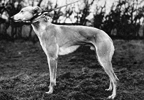 Photograph of the greyhound 'Jovial Judge', owned by Mr
