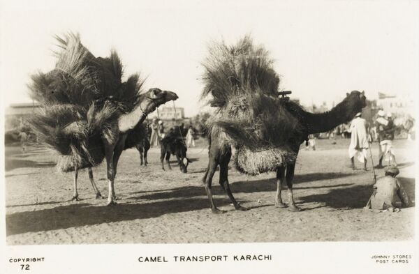 A Camel Train - Karachi. In 1937, Karachi was in India - became part of newly created Pakistan in 1947. The camels appear to be carrying large bundles of reeds, rushes or grasses strapped to their flanks and backs