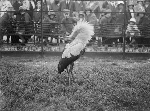 A kavirondo crested crane attracts attention at a zoo as it stretches its neck! Date: early 1930s