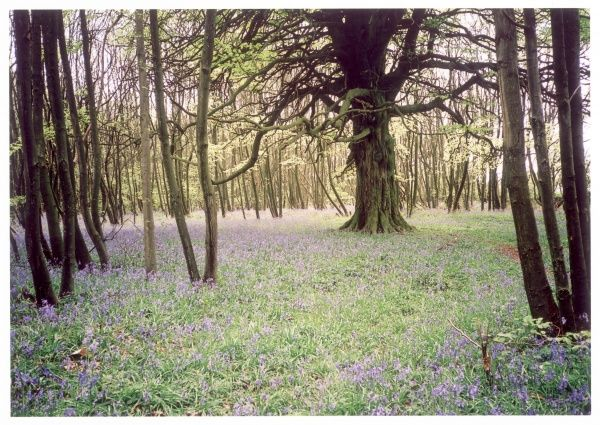 A gnarled ancient tree stands alone in a circular clearing surrounded by coppiced trees. A carpet of fragrant English bluebells marks the season as Spring