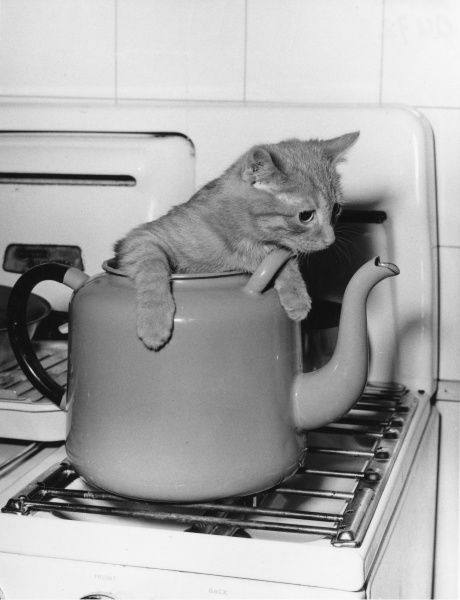 A ginger cat about to be boiled in a kettle on the kitchen hob!