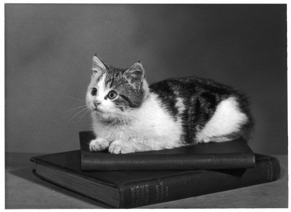 A small tabby and white kitten lies comfotably on top of some books