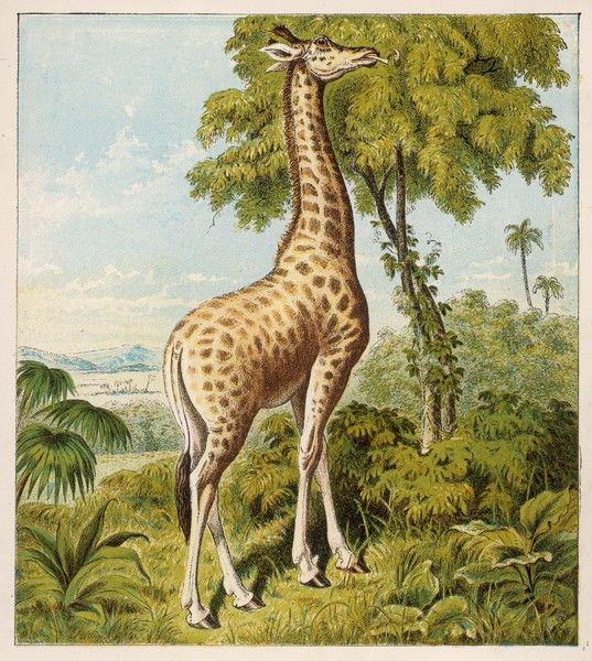 A giraffe uses its dextrous tongue to pick off the leaves from a very tall tree