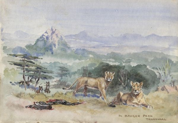 Lions in Kruger Park, Transvaal.  circa 1930s