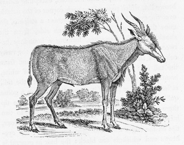 Bewick termed this the 'Elk- Antelope', one of the larger kinds of gazelles : not so, say today's naturalists, who consider it a kind of deer