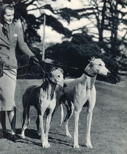A smart young woman taking two magnificent, muscular greyhounds for their daily exercise