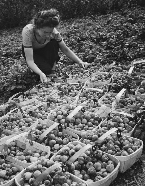 A Land Girl working picking strawberries on a farm during World War II