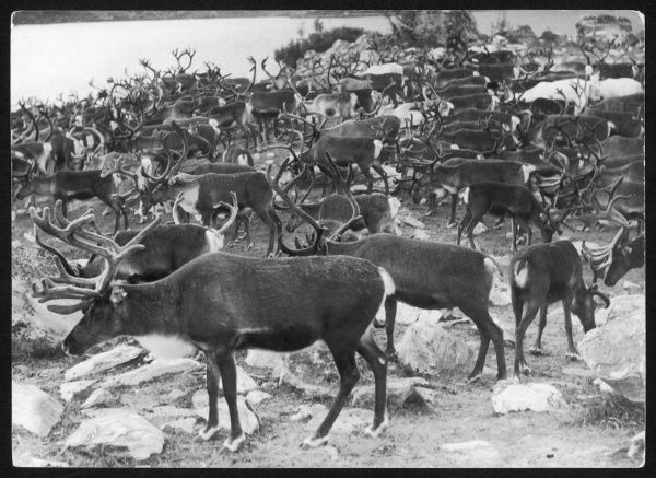 A herd of Lapland reindeer. They move in enormous herds, the record being claimed for a herd of 50,000. The only type of deer where both males and females have antlers