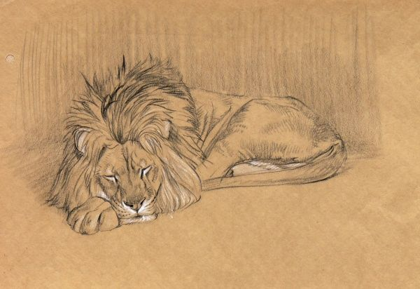 Large male lion sleeping. A study in pencil and conte crayon by Raymond Sheppard