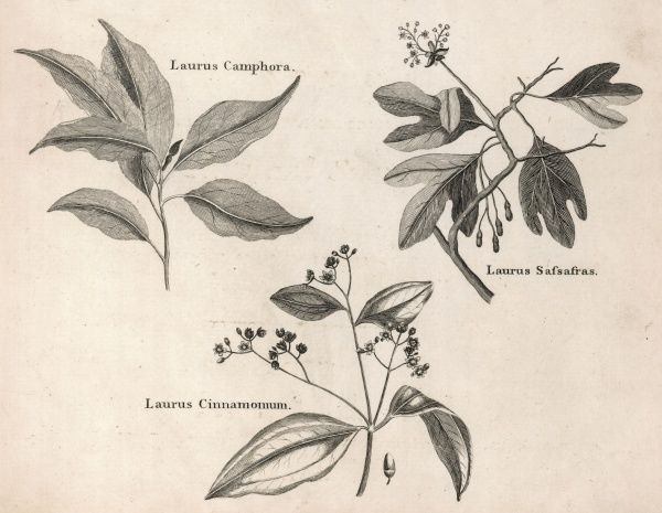 Three varieties of the laurus species (quinine) - known as Jesuits Bark because its healing properties were learnt from South American natives by Jesuit missionaries