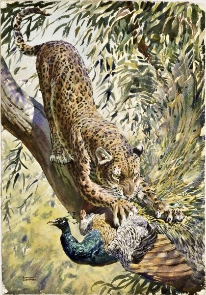 A Leopard pounces on a Peacock, whose flights from its perch is not fast enough for the big cat's paw. Painting by Raymond Sheppard