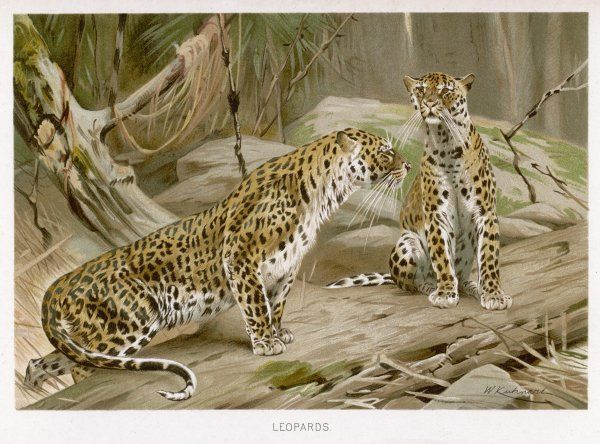 Two leopards in the wild. (panthera pardus)