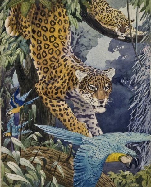 A stylised jungle scene of a Leopard (Panthera pardus) chasing a Blue-and-yellow Macaw (Ara ararauna), whilst another watches on from a distant high branch. Stylised painting by Raymond Sheppard