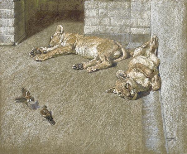 Lion cubs and (two rather brave) sparrows in a zoo enclosure. Pastel drawings by Raymond Sheppard