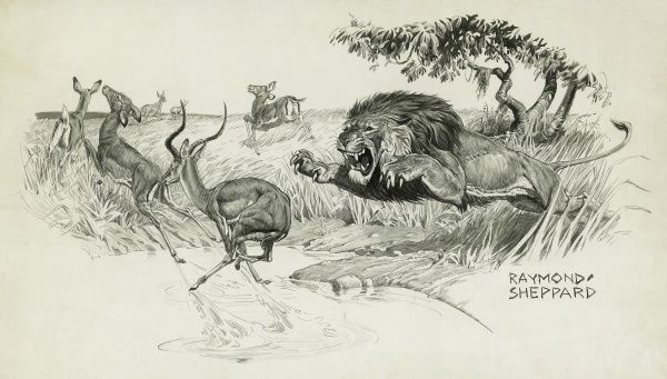 Lion springing to attack an Impala