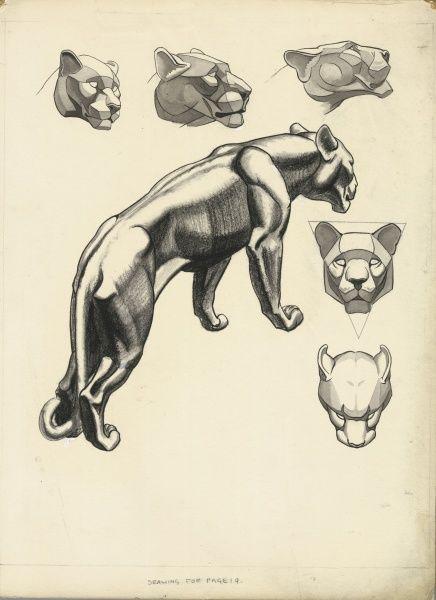 Lion Studies from 'Drawing at the Zoo' published in 1949. Various head studies and a full body study of a lioness, simplified into geometrical structures and planes
