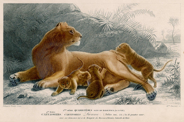 A Lioness and cubs
