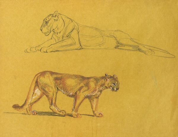 Study of a lioness and a puma