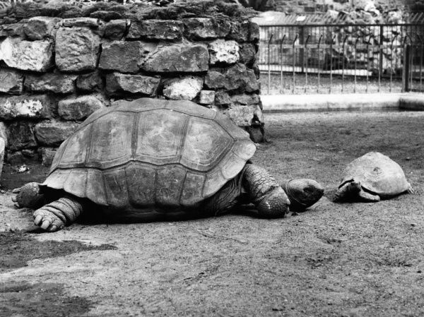 A giant tortoise with her young, or a much smaller cousin. Date: 1960s