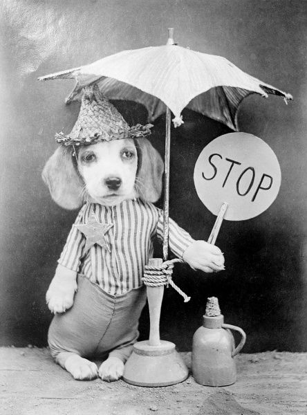 A dog dressed as a lollipop man or lollipop lady, standing, under an umbrella, holding up a 'Stop' sign. Date: early 1930s